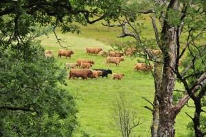 Glenstrae_Cattle