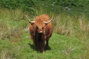 Glenstrae_Highland cow4