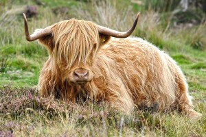 Highland Cow: Farmlife at Glen Strae, Holiday lodge in the Scottish Highlands