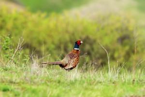 Pheasant shooting at Glenstrae Scottish Highlands Holiday Lodge