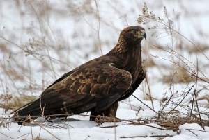 A Golden Eagle (Aquila chrysaetos) sitting in a field with snow on the ground.