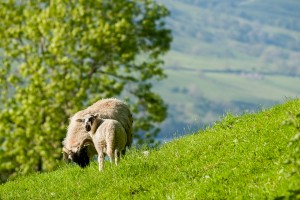 Highland Sheep: Farmlife at Glen Strae, Holiday lodge in the Scottish Highlands