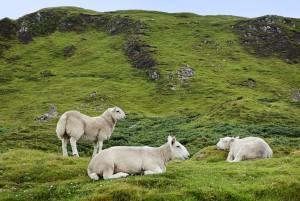Highland Sheep: Farmlife at Glen Strae, Holiday lodge in the Scottish Highlands